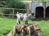 picture of pygmy goat  - a pgymy goat stands on tree trunk to survey his kingdom - JPG