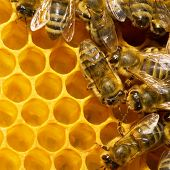 foto of honey-bee  - Macro of working bee on honeycells - JPG