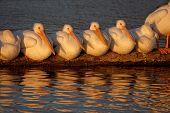White Rock Pelicans