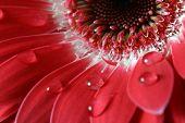 Gerber Blume