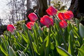 Red Tulips In Park In The Spring