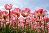 Beautiful Tulips In The Spring.