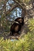 Black Bear Cub , Lake Tahoe