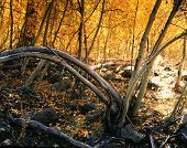 Aspen Tree Orange Landscape