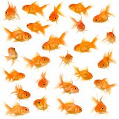 stock photo of anal  - Goldfish in front of a white background - JPG
