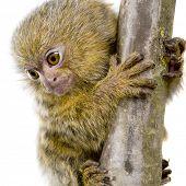 stock photo of marmosets  - Pygmy Marmoset  - JPG