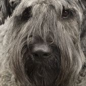 Bouvier des Flandres () in front of a white background