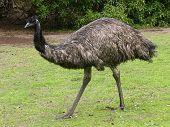 Emu Strolling