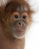 Close-up of baby Sumatran Orangutan, 4 months old, in front of white background