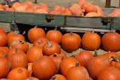 image of jack-o-laterns-jack-o-latern  - A large harvest of pumpkins before Halloween - JPG