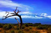 Kilimanjaro Tree
