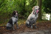 Two muddy gundogs