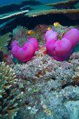 Maldive anemonefish, Indian ocean underwater
