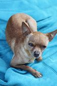 pic of heartfelt  - Toy terrier sitting on the blue cloth with heartfelt look - JPG