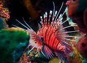 Lionfish (Pterois miles) divesite Batu bolong (Current city) E of Komodo Indonesia