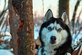 Beautiful Husky Dog Looking At Camera. Blue-eyed Black And White Color Siberian Husky In Winter Even poster