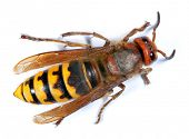 stock photo of vespa  - European Hornet  - JPG