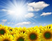 stock photo of sunflower-seeds  - Summer sun over the sunflower field - JPG