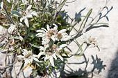 stock photo of edelweiss  - Edelweiss on a rock in the mountains in Trentino Italy - JPG