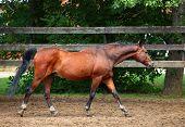 Running chestnut horse in the farm