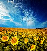 beautiful vibrant sunflowers in the soft morning light with blue sky and white clouds
