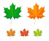 picture of canada maple leaf  - Maple leaves  - JPG
