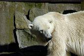 White (Polar) Bear In Zoo.