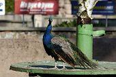 Peacock In Zoo.