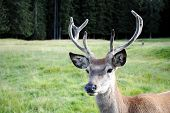 young male deer face in mountain landscape