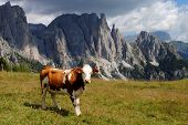brown cow looking at camera with alps background