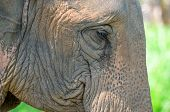 Asia Elephant Head Close Up