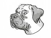 Retro Cartoon Style Drawing Of Head Of A Boerboel  , A Domestic Dog Or Canine Breed On Isolated Whit poster