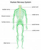 stock photo of spinal cord  - Illustration of human nervous system with labels - JPG