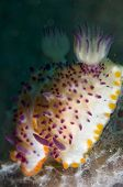 Pair of Multi-pustuled Mexichromis Nudibranch in Lembeh Straits