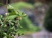 A Japanese Warbling White Eye, Also Known As A Mountain White-eye Or Just A Japanese White-eye, Zost poster