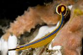 Bluestripe Pipefish in Lembeh Straits