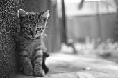 Tabby Kitten Sitting Portrait Outdoor. Sunny Day. Black And White Photo. poster