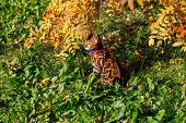 Cute Little Bengal Kitty Cat Walking Outdoors Close To The Rowan Tree poster