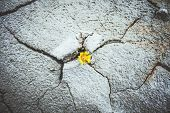 yellow flower growing in cracked land climate change global warming poster