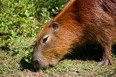 Capybara lunching