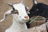 Goatling
