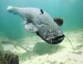 Underwater photo big Catfish (Silurus Glanis). Trophy fish in Hracholusky Lake - Czech Republic, Eur