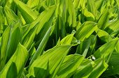 The Leaves Of Lily Of The Valley
