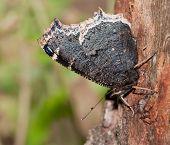 Vista ventral del manto de luto, Nymphalis antiopa mariposa, alimentándose de la savia del árbol