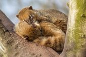image of coatimundi  - Two coatimundis are sleeping in a tree - JPG