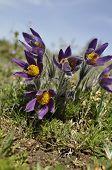 Pasque-flowers