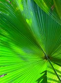 Leaf of a fan palm tree