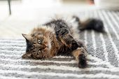 Adorable Fluffy Cat Relaxing At Home In The Morning poster
