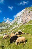 herd of sheep near Mangart, Triglav national park, Slovenia poster