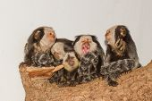 picture of marmosets  - Five Tufted - JPG